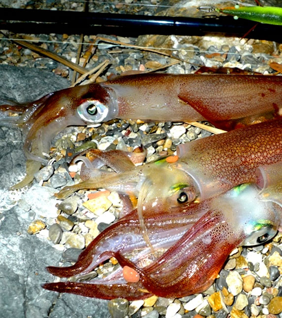 Fishing Cephalopods